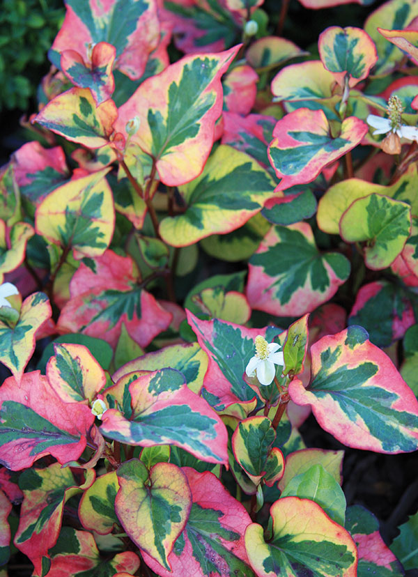 Horúcim trendom sú rastliny sfarebnými azaujímavo štruktúrovanými listami. Tie sú vtomto období vďaka vlahe anižším nočným teplotám intenzívnejšie vyfarbené azostávajú atraktívne až do začiatku zimy. Vtýchto dňoch si môžete vysadiť sezónne rastliny, akými sú starček aokrasná kapusta alebo trvalky sfarebnými listami – zbehovec, šalvia, prýštec, heuchera, bergénia, rohoblizník. Väčšinou ide ovzrastovo nižšie rastliny, ktoré je potrebné sústrediť kokrajom záhona. Ideálne je vždy vysadiť viac kusov zjedného druhu. Najkrajšie sa vyfarbia na slnečných miestach apri pravidelnej zálievke (pozor na premokrenie). Väčšinu týchto rastlín môžete pestovať aj vnádobách.