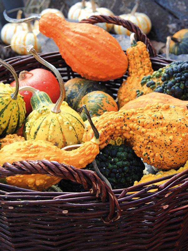 Tvarovo aj farebne rozmanité tekvice sú typicky jesennou plodinou azároveň obľúbenou dekoráciou, ktorá je vhodná do vidieckej aj mestskej záhrady. Najširšie možnosti využitia však majú vkuchyni – sú nielen chutné, ale aj mimoriadne prospešné. Pred použitím je však dobré nechať ich odležať na slnku avteple – vkošíku alebo len tak poukladané na priedom, aby na ne nepršalo. Tu budú mať príležitosť dozrieť asúčasne sa postarajú onavodenie jesennej atmosféry. Tekvice môžete sústrediť aj na okraj záhona skvitnúcimi jesennými trvalkami či trávami. Tu však treba počítať stým, že ich životnosť môže byť vplyvom hromadiacej sa vlhkosti kratšia.