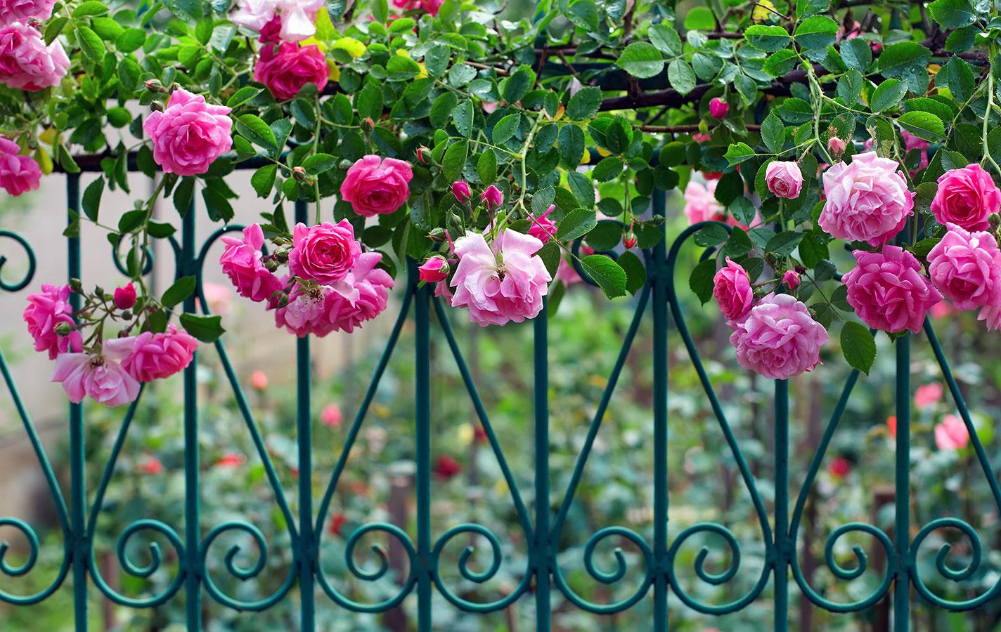 Romanticky pôsobiaci kovový plot poslúži na oddelenie predzáhradky avstupného priestoru do domu od ulice, na klasické ohraničenie záhrady nie je úplne vhodný. Vprípade kovových plotov si dajte pozor na prílišné zdobenie, ktoré môže pôsobiť rušivo až gýčovo.