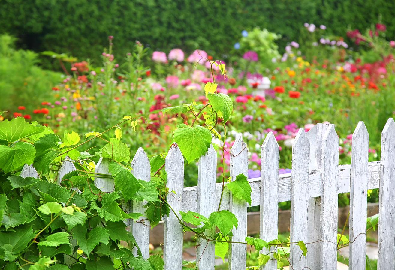 Vidiecku záhradu ohraničte klasickým latkovým plotom. Báť sa nemusíte ani výraznejšej farby. Majte na pamäti, že časti dielcov, ktoré budú vstyku spôdou, treba impregnovať. Ktakýmto plotom môžete vysadiť ruže alebo vyššie letničky, napríklad slnečnice.