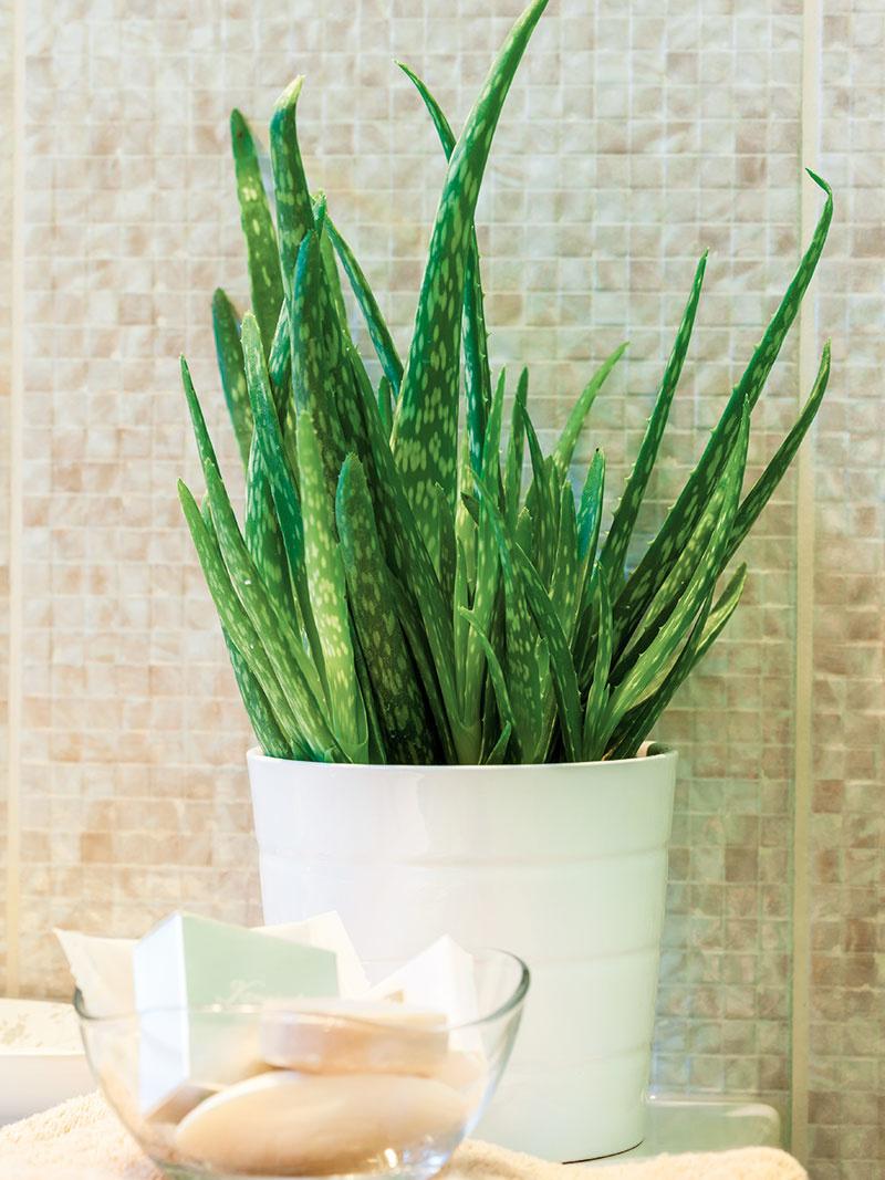Aloa pravá má široké využitie, patrí medzi liečivé rastliny. Je dobré ju mať doma poruke – šťava zodrezaného listu sa používa ako prvá pomoc na drobné ranky či popáleniny. Stačí ju zalievať raz týždenne araz do mesiaca prihnojiť.
