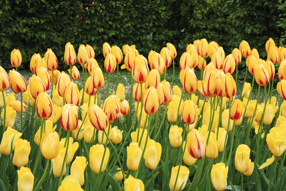 Svieže tulipány. Ak máte v záhrade priepustnú pôdu a aspoň trochu slnečné miesto, zaobstarajte si tulipány (Tulipa). Cibule sa sadia na jeseň, prípadne si môžete kúpiť predpestované rastliny v črepníkoch, ktoré sa vysádzajú na jar. Pestujte ich v skupinkách, na jar im doprajte dostatok vlahy a po odkvitnutí sucho.