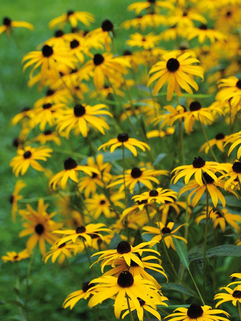 Vytrvalá rudbekia. Táto vytrvalo kvitnúca dlhoveká trvalka by nemala chýbať v žiadnej záhrade. Rudbekia (Rudbeckia fulgida) bohato kvitne počas celého leta – už malá sadenica zakrátko vytvorí bohatý trs. Rastlina potrebuje dostatok slnka, nevyžaduje však intenzívne zavlažovanie ani prihnojovanie.