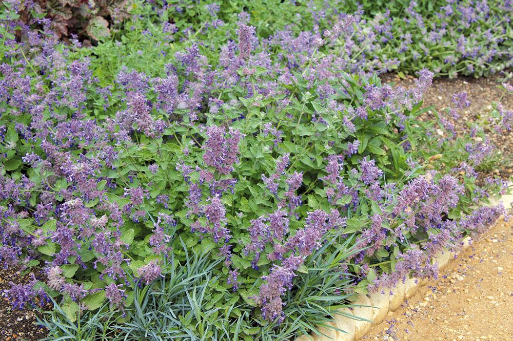 Aromatický kocúrnik. Jedna z najdlhšie kvitnúcich trvaliek je vhodná ako lem exteriérových schodov, na okraj kvetinových záhonov alebo do skaliek vidieckych záhrad. Súkvetia kocúrnika (Nepeta faasenii) sú levanduľovomodré a zaujímavé je aj jeho striebristé olistenie. Rastline sa bude dobre dariť na slnku, prípadne v polotieni.
