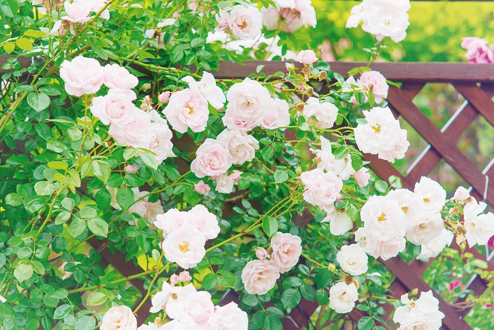 7 Využite výšku Nechajte popínavé ruže (alebo iné rastliny, napríklad plamienky) ťahať po plotoch atrelážach. Tak záhrada získa na výške to, čo nemôže na šírke. Takto možno šikovne predeliť záhradný priestor azároveň sa tešiť zopojných vôní.