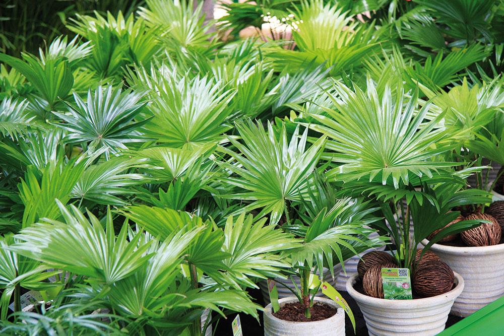 Palmy sa znovu začínajú objavovať v moderných interiéroch. V priestore pôsobia dominantne, pekne sa rozrastajú a vnášajú doň harmóniu. Ponuka týchto rastlín sa zaujímavo rozširuje, vybrať si môžete napríklad livistóniu, prútovnicu, likualu alebo karyotu. Palmy predstavujú zaujímavú alternatívu k jukám a dracénam.