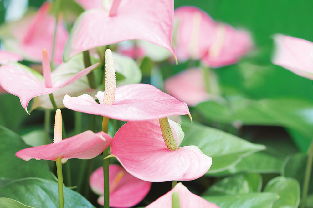 Exotické antúrium pôsobí reprezentatívne, dlho kvitne a nevyžaduje si špecifickú starostlivosť. Pôsobivý celok získate, ak do jednej širšej nádoby vysadíte viac jedincov, napríklad aj s rôzne sfarbenými kvetmi.