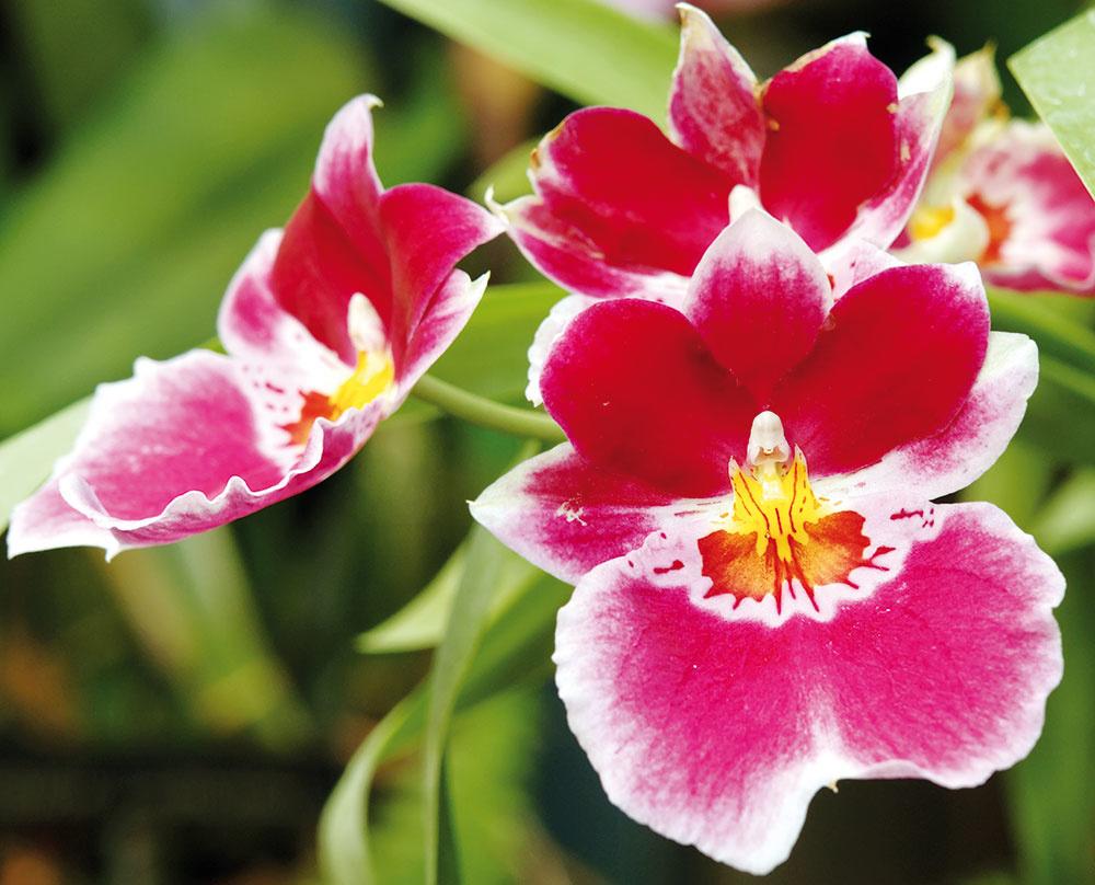 Orchidey patria k mimoriadne obľúbeným izbovým rastlinám. Najčastejšie sa môžete stretnúť s pestovateľsky nenáročným lišajovcom, skúsenejší pestovatelia môžu zvoliť aj menej tradičný druh, napríklad odontoglosum. Ďalšou voľbou sú miltónie či extravagantné vandy.