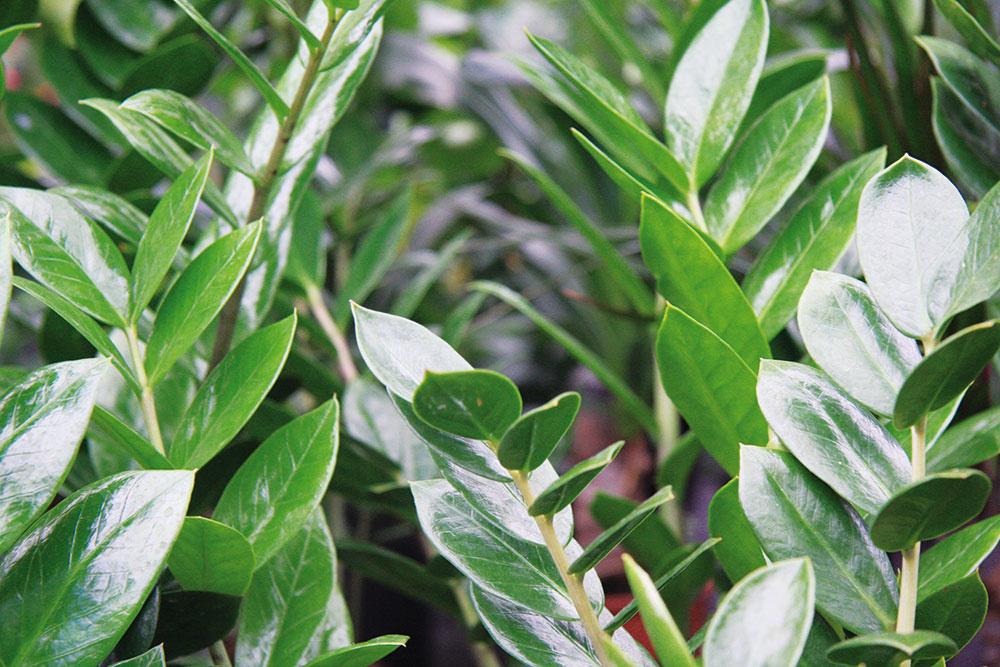 Nenáročný zamiokulkas predstavuje jednu z najpestovanejších rastlín súčasnosti. Vynikne v skupinkách a väčšie druhy aj ako solitéry. Rastline sa najlepšie darí na svetlom mieste a znesie aj sucho. Od jari do konca leta ju treba prihnojovať, čím sa znásobí množstvo výhonkov.