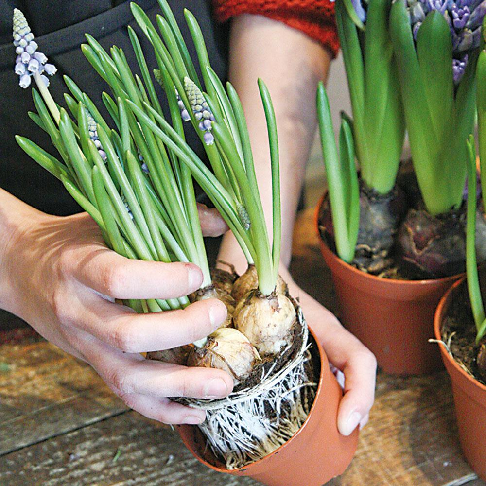 Jednotlivé rastliny vyberte z plastových nádob a uvoľnite im korienky.