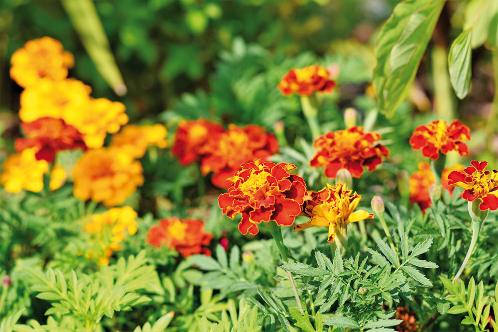 Aksamietnica (Tagetes patula)  Táto dobre známa a obľúbená letnička mnohým zapácha, ale viete, že spoľahlivo zaženie komáre, muchy a ďalší dotieravý hmyz? Na terase sa nádherne rozvinie a bude kvitnúť až do neskorej jesene. Rastlinu si ľahko vypestujete zo semien, začiatkom leta si môžete zakúpiť aj hotové priesady. Potrebuje: slnko, priepustnú a výživnú pôdu, pravidelné zavlažovanie, prihnojovanie a odstraňovanie odkvitnutých kvetov
