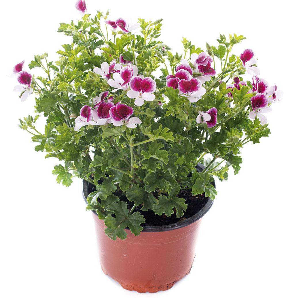 Muškát (Pelargonium crispum)