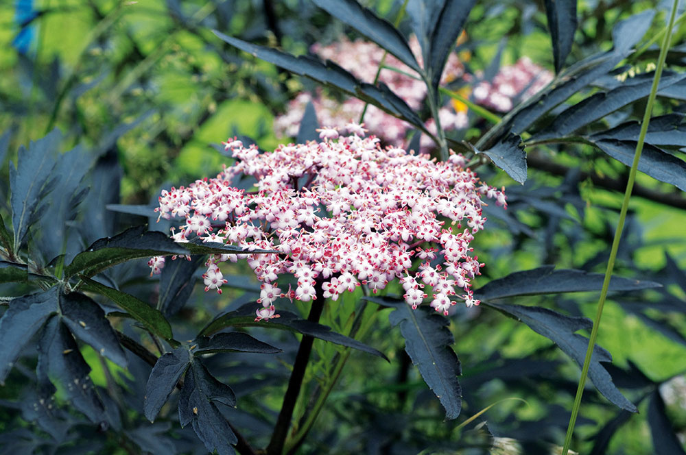 Baza s tmavopurpurovými listami a ružovkastými súkvetiami.