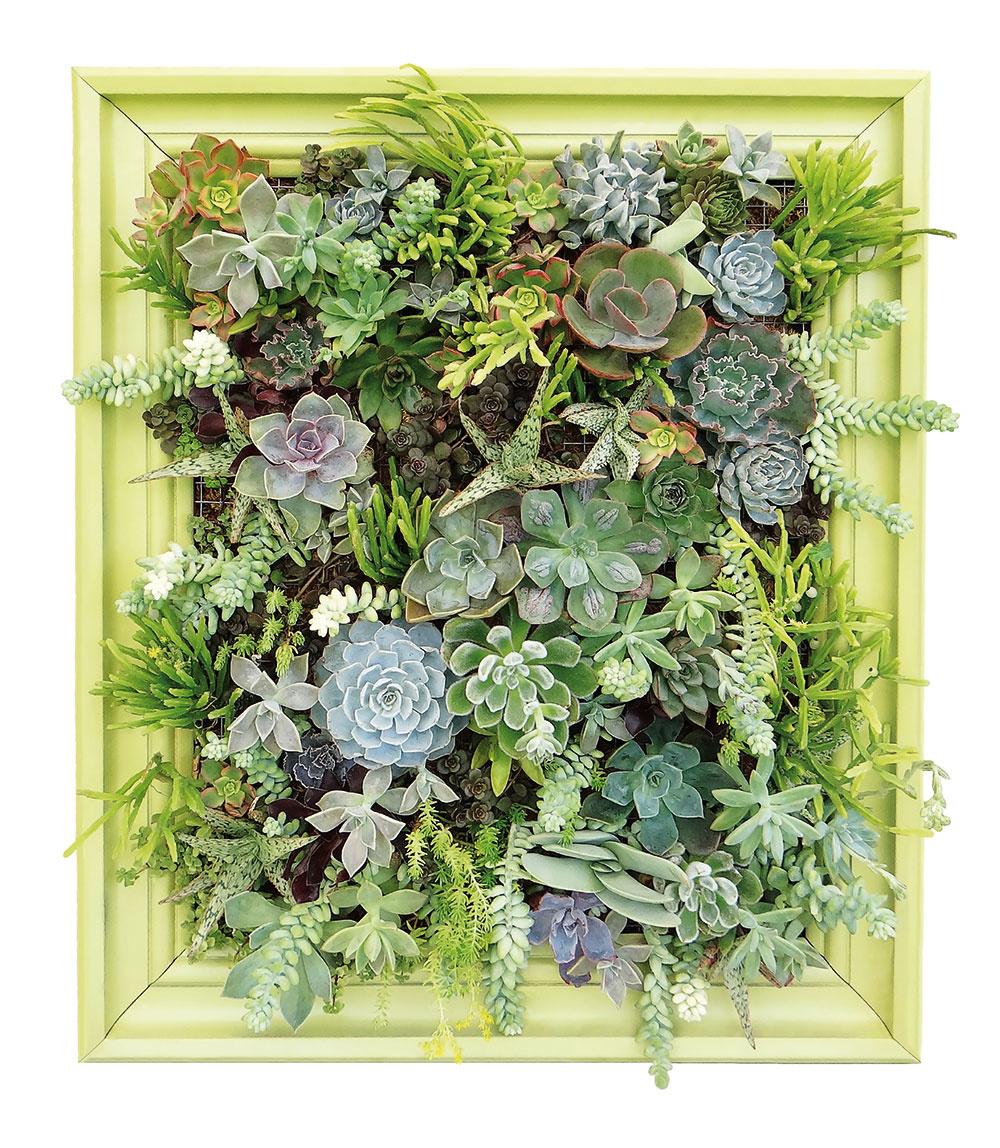 Na obraze Sukulenty (rozchodníky, echevérie, tučnolisty či kalanchoe) patria k najmenej náročným izbovkám. Plytkú pevnú nádobu (vyrobte si ju podľa veľkosti rámu) vysteľte fóliou, pripevnite na ňu pletivo s menšími okami, do ktorého vložíte rastliny buď priamo s drobnými črepníkmi, alebo len s koreňmi a vyplňte substrátom. A nakoniec pripevnite rám. Čím viac pestrosti, tým krajší výsledok.