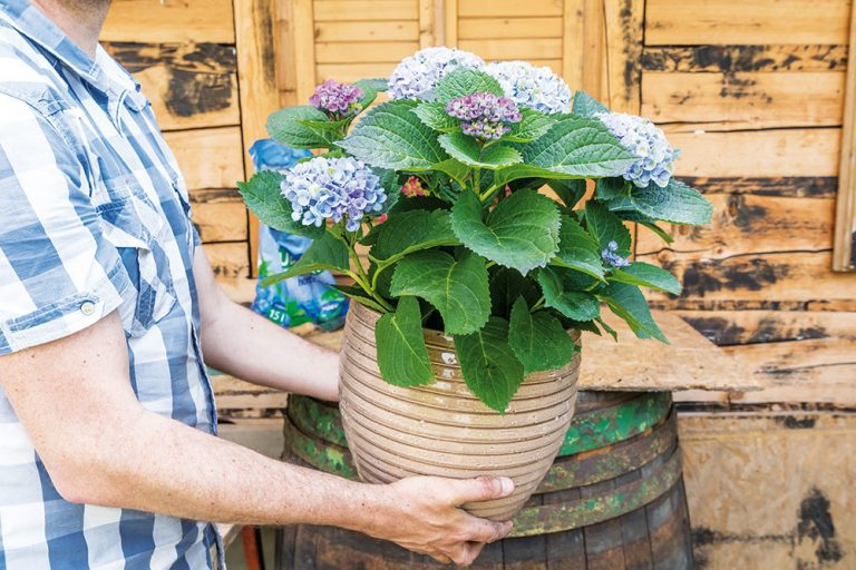 Ako pestovať hortenzie v nádobách