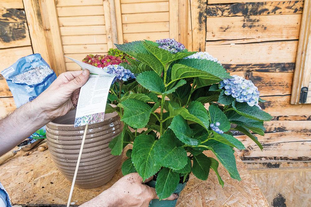 V záhradníctvach si môžete v tomto období vybrať z bohatej ponuky kvitnúcich hortenzií. Najlákavejšie sú tie namodro kvitnúce. Súčasťou rastlín sú niekedy aj štítky, na ktorých nájdete aj informáciu, či ich možno pestovať v nádobách.
