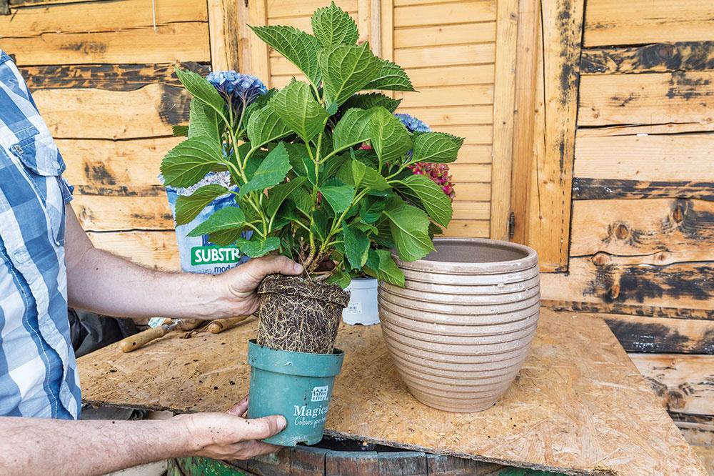 Hortenziu opatrne vyberte z plastového črepníka a dajte pozor, aby koreňový bal zostal celistvý. Korene rastliny vizuálne skontrolujte a všetky suché, poškodené alebo nahnité časti odstráňte.