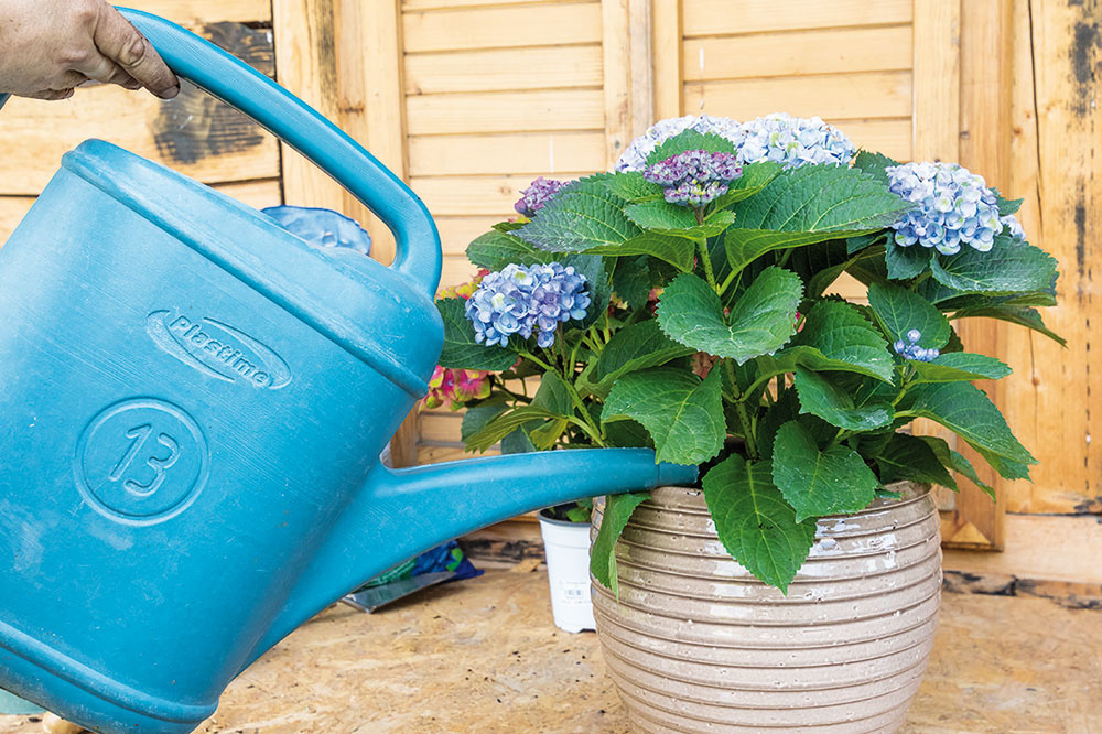 Vysadenú hortenziu dobre zalejte, aby sa jej koreňový bal dôkladne prevlhčil. Ak zostanú po zálievke niektoré korene odhalené, doplňte ďalší substrát.