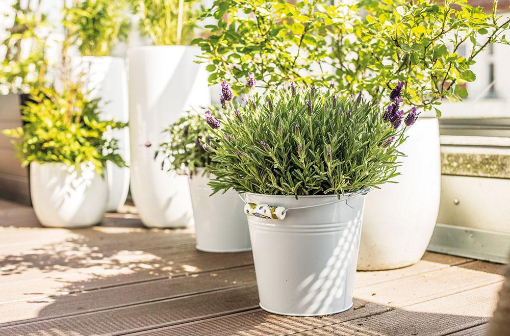 Pekne kvitnúca i voňajúca levanduľa (Lavandula) je nepísanou kráľovnou provensalského štýlu a do priestoru vnáša francúzsky šarm. V ponuke nájdete viac ako 25 druhov, pričom jej kvety môžu byť nielen modrofialové, ale aj biele a ružové.