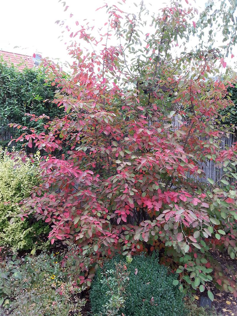 Karmínová farba listov je na jeseň typická aj pre niektoré druhy muchovníkov.