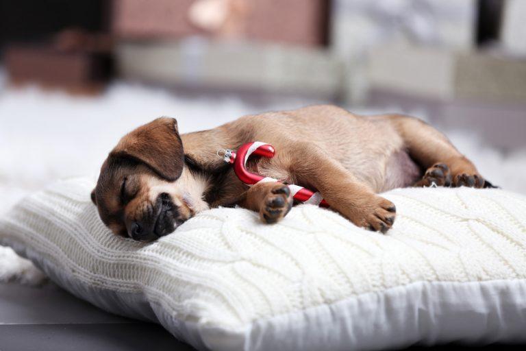 Nový psík? Ako zvládnuť jeho prvé dni v novej domácnosti