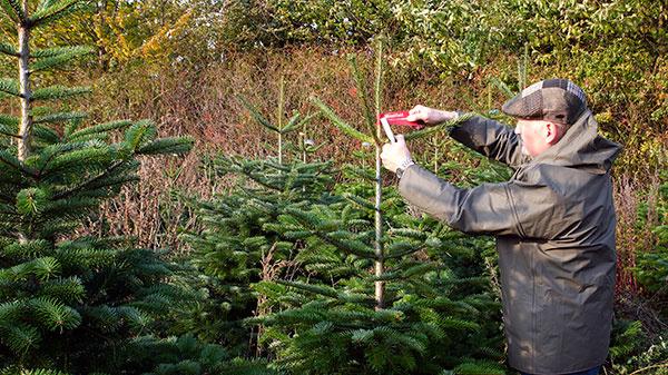 Inšpektori z Mountfieldu kontrolujú a značkujú vybrané stromčeky (viď foto)