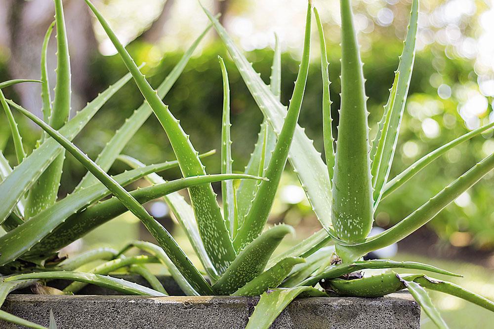 ALOE VERA Nenápadná rastlina spichľavými listami vsebe skrýva množstvo liečivých látok. Stačí odtrhnúť list, rozrezať ho po dĺžke avydlabať gélovú dužinu. Výborne zmierňuje psoriázu, popáleniny, opary či akné. Sukulent rastie vsuchých ačasto extrémnych podmienkach, takže zvládne, ak ho občas zabudnete polievať. Vyžaduje len piesočnatý substrát ateplé, slnečné miesto. Aby ste predišli odparovaniu vody, môžete okolie rastliny posypať kamienkami. Umiestnenie: slnečné stanovište Polievanie: počas leta skromná zálievka, vzime stačí zaliať 2×mesačne