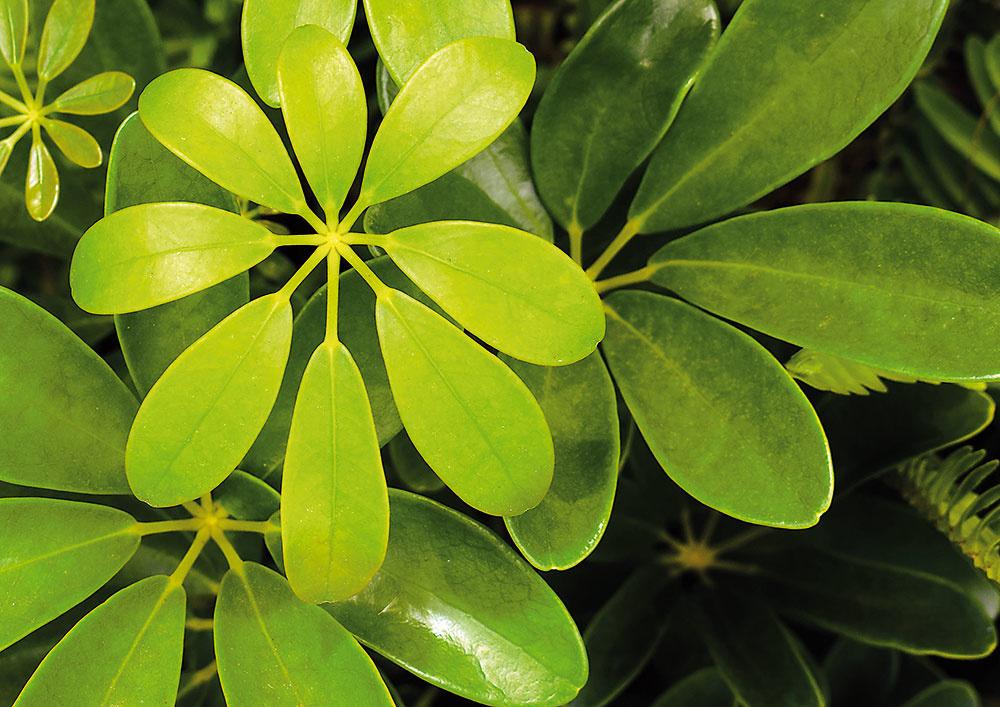 ŠEFLERA Patrí katraktívnym anenáročným izbovým rastlinám, ktoré sú okrasné listom. Vytvára efektné apekne rozkonárené stromčeky, rastie rýchlo avyniká bohatým olistením. Rastie aj vhorších podmienkach apestovať ju možno aj hydroponicky. Vynikne vmenších aj väčších priestoroch, vyplní problematické kúty. Atraktívnejší vzhľad docielite pravidelným zaštipovaním výhonkov. Rastline pristane aj vkusný dekoratívny črepník. Umiestnenie: svetlé až polotienisté, nie priame slnko Polievanie: treba udržiavať mierne vlhký substrát, medzi každou zálievkou musí substrát preschnúť