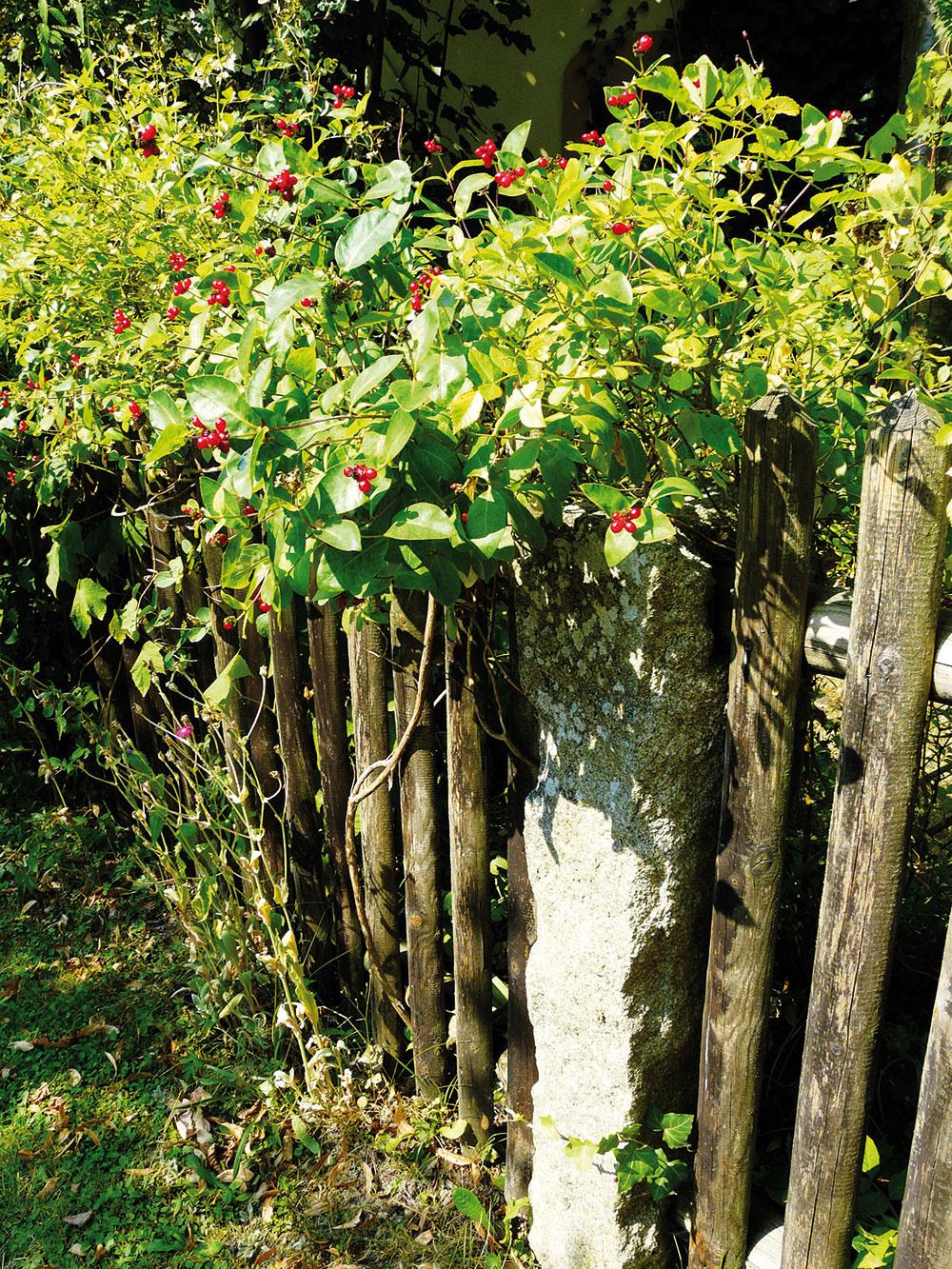 Bujne rastúce popínavky ovládli plot pri záhrade pre hostí. Aj tu prevládajú druhy, ktoré sú nielen krásne, ale i užitočné. Kvety zimolezu vábia čmeliakov aj včely a na plodoch si koncom leta pochutnajú vtáci.