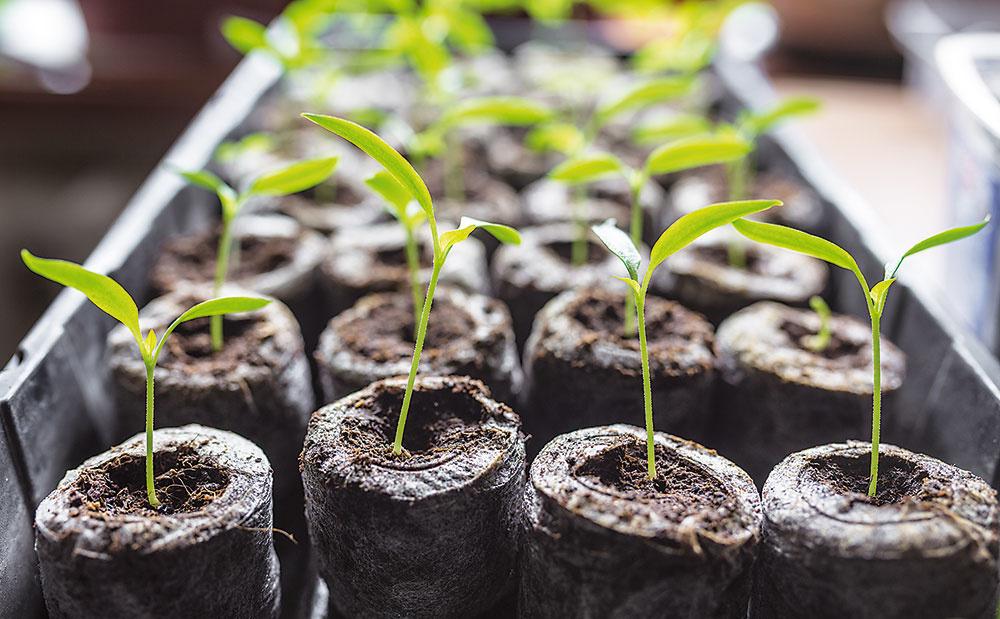 Tablety Jiffy, vyrobené zkvalitnej rašeliny obsahujúcej minerály upravujúce ich kyslosť aživiny. Stačí namočiť do vody apo napučaní vytvárajú náhradu za klasickú zeminu vkontajneroch, 33 mm, 3,54 €/30 ks, www.rastliny-semena.sk