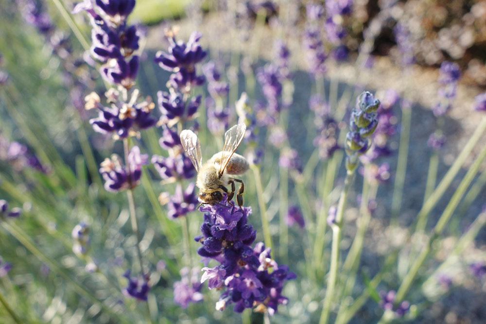 Aromaterapia: trvalková zmes vpestrých farbách zvonných aaromatických rastlín.