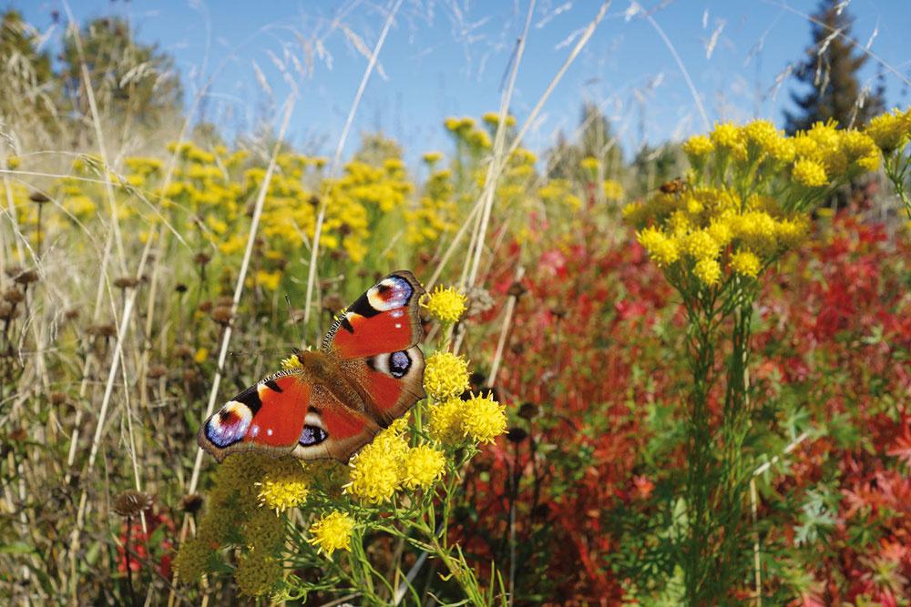 Záhon sjazierkom sa už rok po výsadbe stal najvýraznejším anajdynamickejším prvkom záhrady. Zjari láka veľké množstvo opeľovačov, prevažne včiel ačmeliakov, na jeseň sa nad astrami vznáša oblak motýľov.