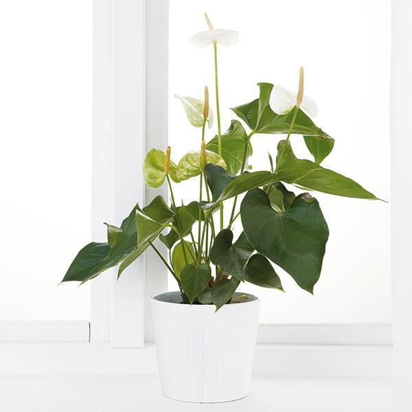 Antúria v kvetináči, výška 35 cm, priemer nádoby 9 cm, rôzne farby, 3,99 €, IKEA
