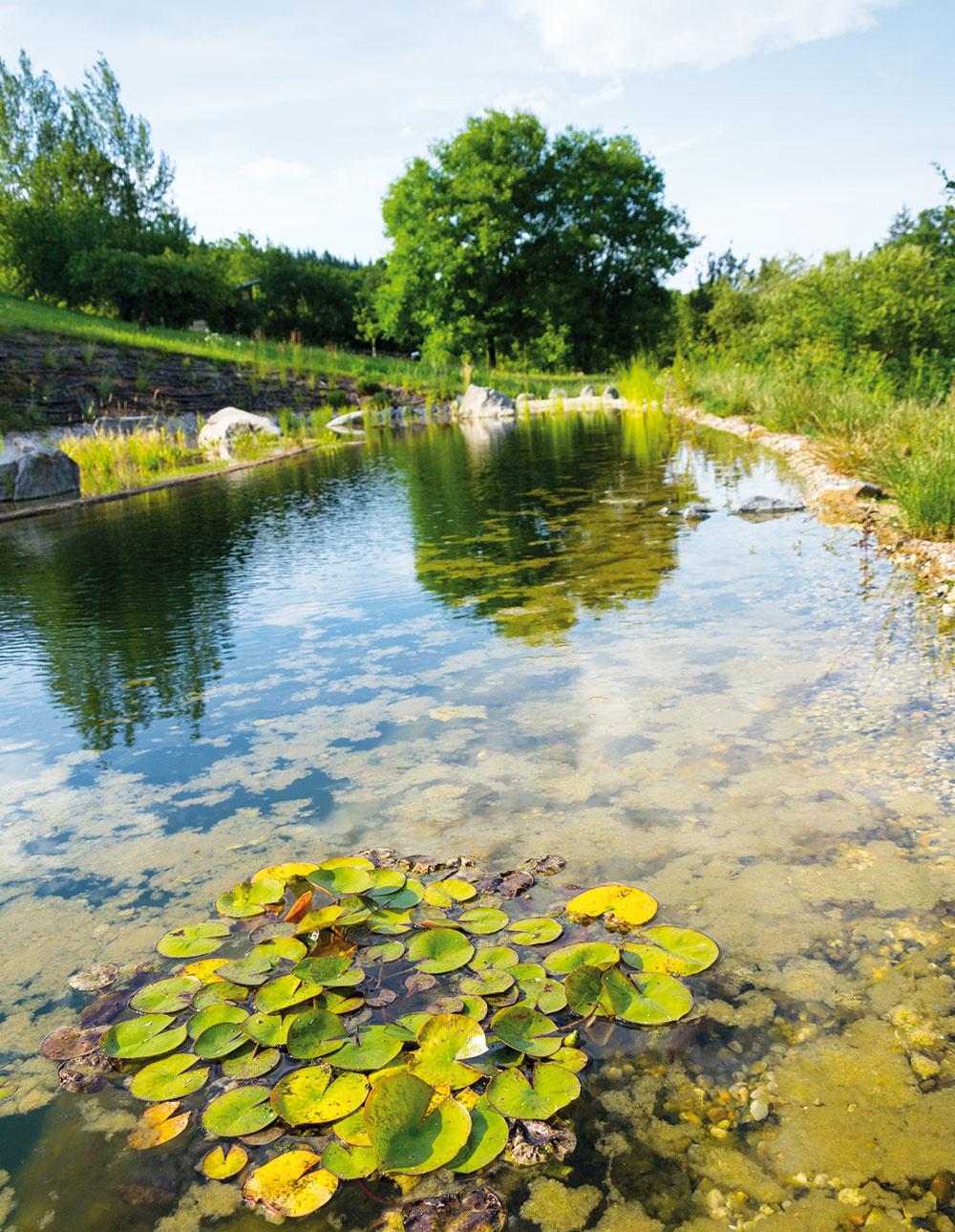 Lekná sú ozdobou prírodných jazierok. Ich listy obmedzujú rast rias vjazierku. Tienením na hladine zabraňujú prehrievaniu vody atiež poskytujú úkryt pre ryby.