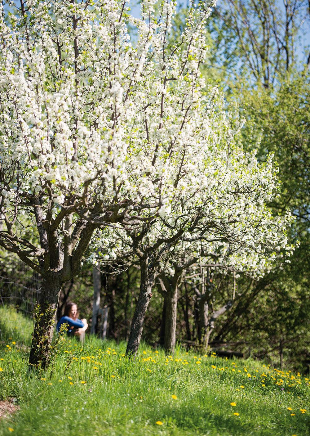 """Ovocný sad. """"Údržba stromov akríkov nie je náročná avporovnaní suhladeným anglickým trávnikom je aj podstatne jednoduchšia aprotihodnota vpodobe sladkých plodov je na nezaplatenie."""" Zuzana Matúšová"""
