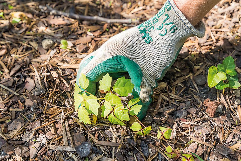 Z miesta výsadby najskôr odstráňte burinu a semenáčiky drevín. Následne ho do hĺbky dôkladne prekyprite.