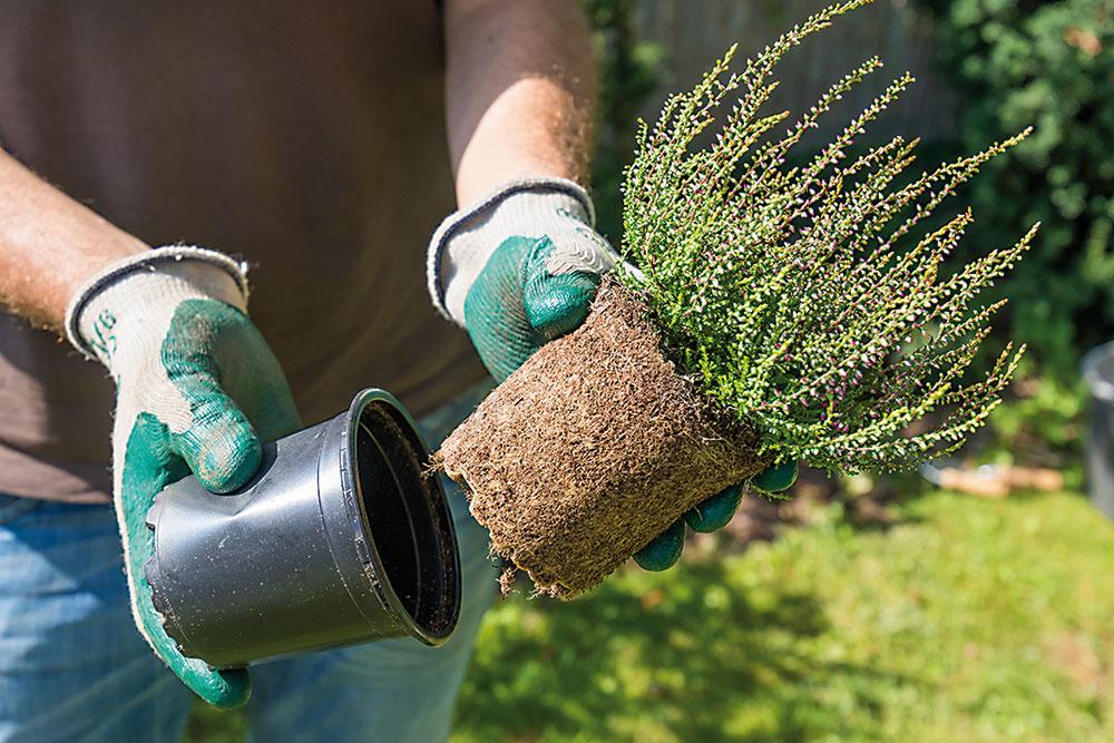Vresy uvoľnite z obalových nádob a dobre prezrite ich koreňové baly. Suché a choré časti koreňov odstrihnite.