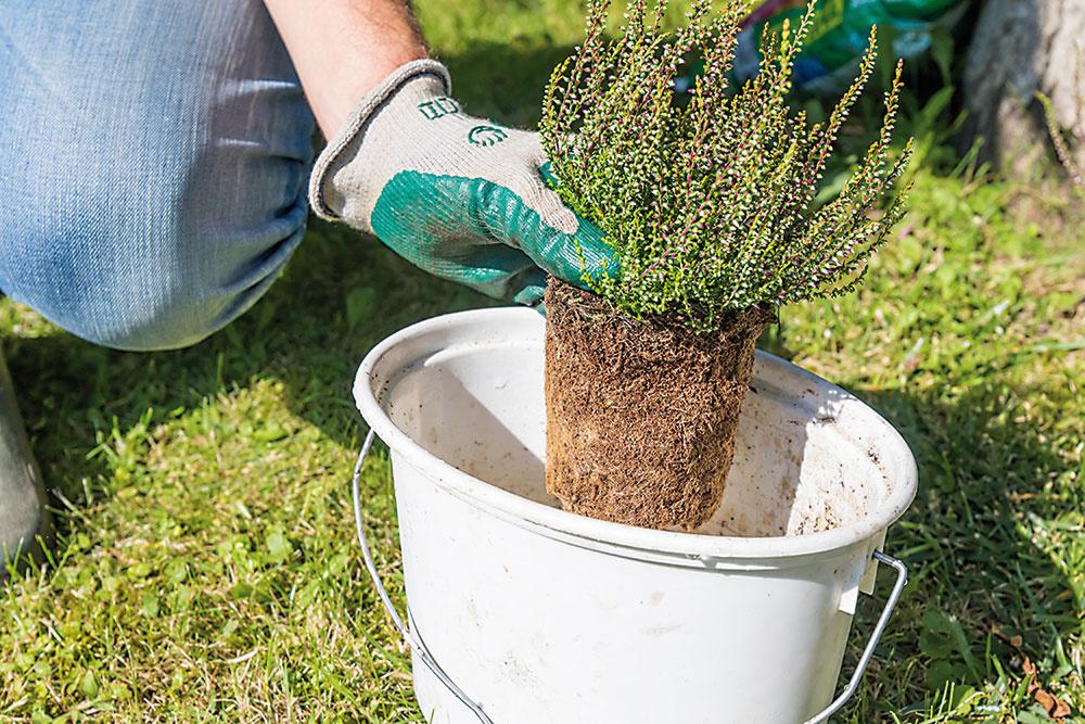 Vresy namočte do vedra s vodou. Počkajte, kým koreňové baly dôkladne nasiaknu, a potom ich vytiahnite.