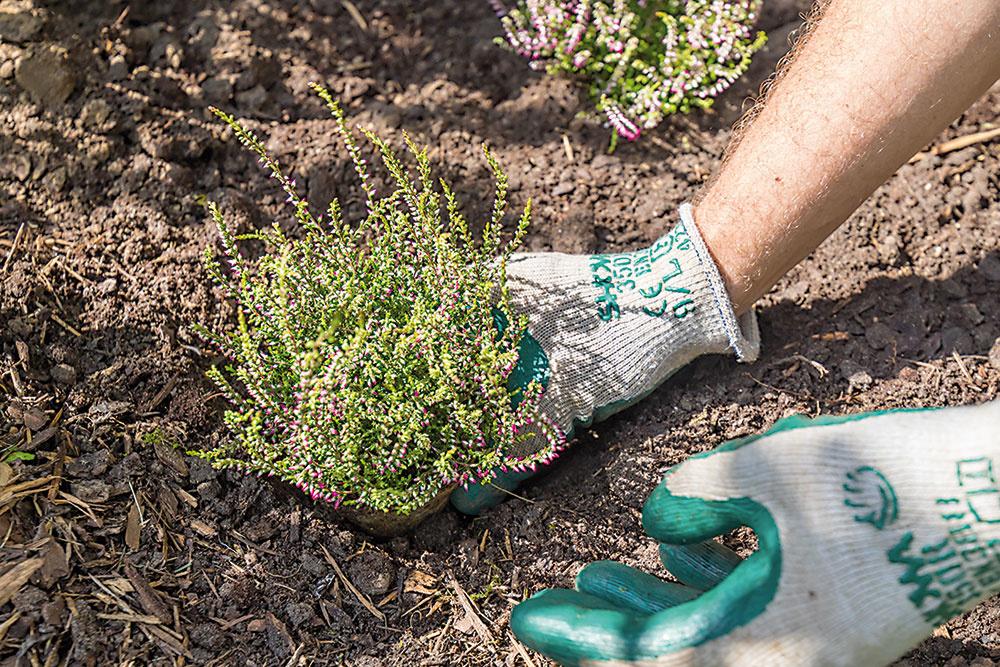 Vresy vysádzajte vždy do skupín tak, aby bol horný okraj koreňového balu nižšie ako okraj jamy. Po výsadbe okolie vresov utlačte, prihrňte drvenú kôru a výdatne ich zalejte.