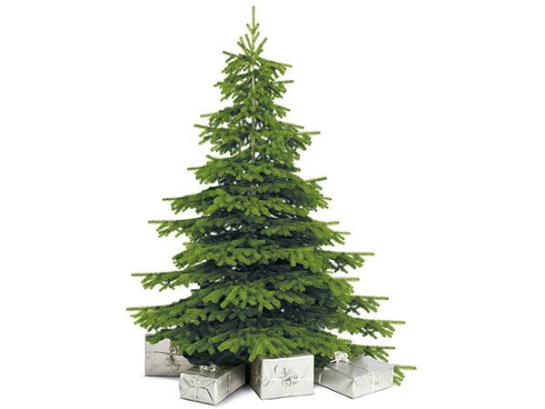 Kaukazská jedľa - najobľúbenejší vianočný strom slovenských domácností