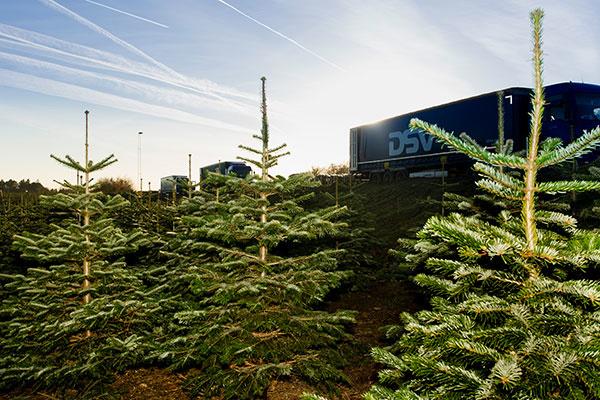 Kaukazská jedľa – najobľúbenejší vianočný strom slovenských domácností
