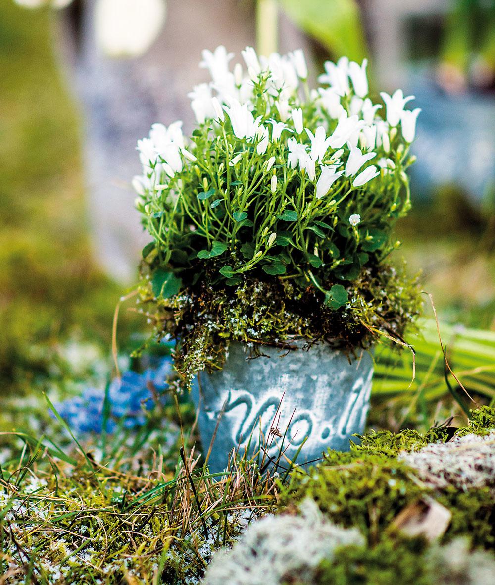 Svieže zvončeky Biely zvonček skalničkový (Campanula portenschlagiana) môžeme pestovať aj ako izbovú rastlinu. Má veľmi jemný vzhľad, ktorý najviac umocní nádoba shladkým povrchom. Navrch zeminy uložte mach. Jeho zelená farba pôsobí na rozdiel od zeminy veľmi čerstvo. Súčasne pomáha znižovať odparovanie vody.