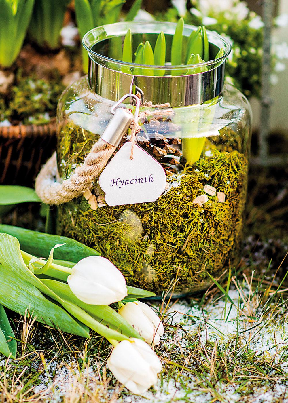 Cibuľové terárium Uložiť cibuľky hyacintov do terária je pomerne jednoduché. Do toho nášho sa zmestili tri cibuľky bielych hyacintov (Hyacinthus). Výroba je veľmi jednoduchá. Stačí na dno nasypať aspoň päťcentimetrovú vrstvu zeminy apoukladať mach. Ten treba umiestniť po bokoch anavrchu tak, aby nebolo vidieť zeminu.