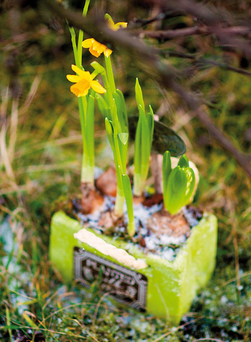 Žiarivý aranžmán. Tento aranžmán upúta na prvý pohľad. Nielen nápadnými žltými kvetmi narcisu (Narcissus), ale aj farbou nádoby. Použili sme keramickú nádobu vtvare malého hranola, ktorá má výraznú zelenú farbu. Aby nebolo vidno substrát, pokryli sme povrch pôdy opäť machom.