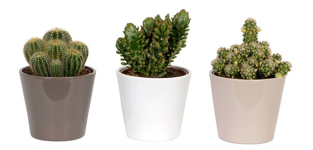Kaktusy v kvetináči, živé rastliny vyžadujúce svetlé a slnečné stanovište, 7,99 €, www.obi.sk