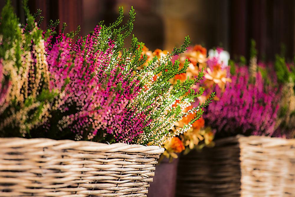 Vresy vkvetináči