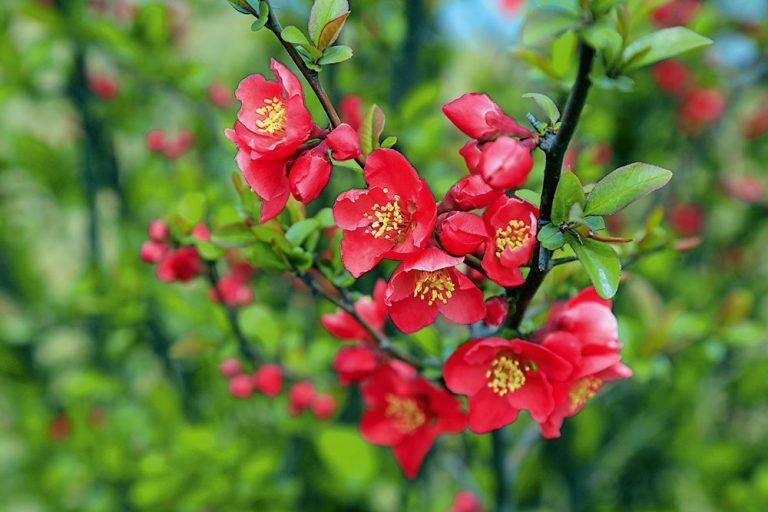 Okrasné kvitnúce kry v záhrade