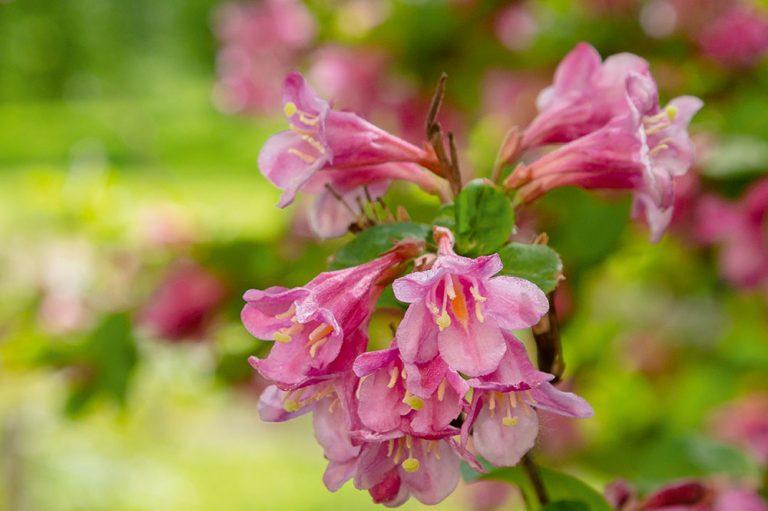 10 najkrajších kvitnúcich kríkov pre menšie aj väčšie záhrady