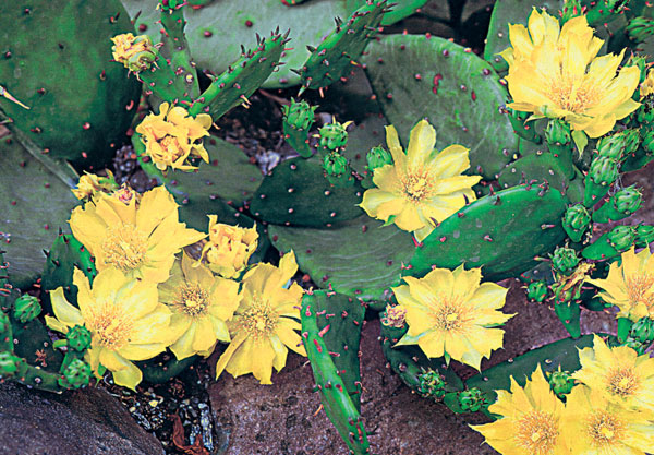 Kaktusy v záhrade