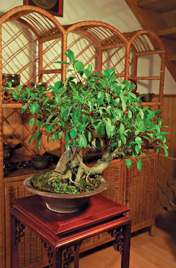Bonsaj – symbióza človeka a stromu